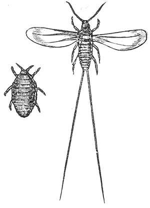 La cochinilla macho (derecha) acostumbra a ocupar mucho más espacio del que necesita expandiendo sus piernas.